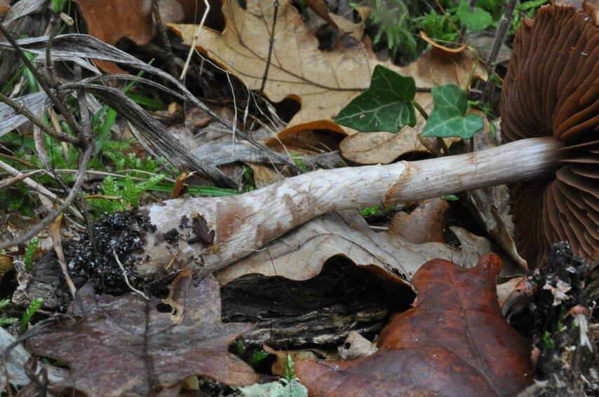 Cortinarius fuscoperonatus (2)