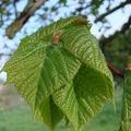 2008 05 07 Jeune feuilles de Tieule