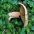 Lactarius salmonicolor (3)
