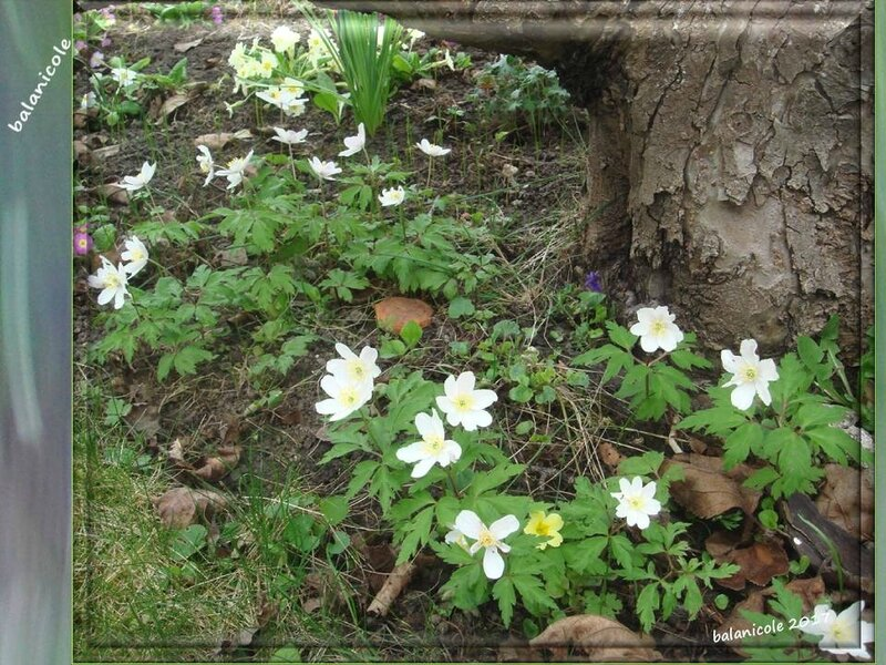 balanicole_2017_01_le printemps_33_anémones sylvie02