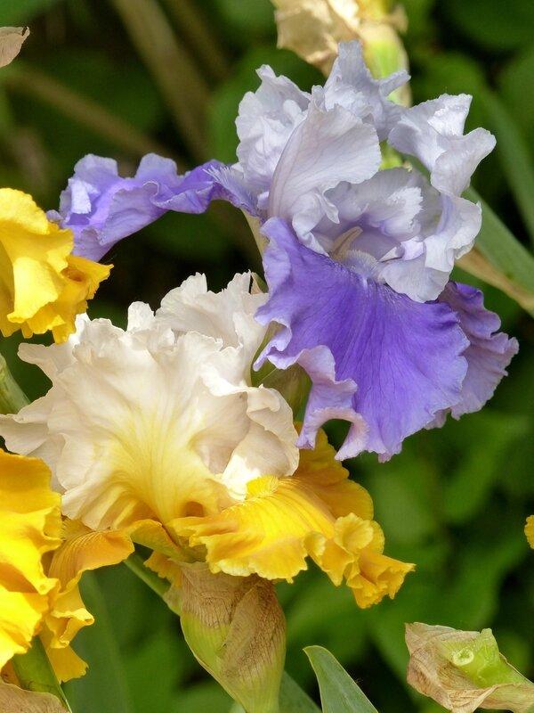 iris sierra grande avec tour de france