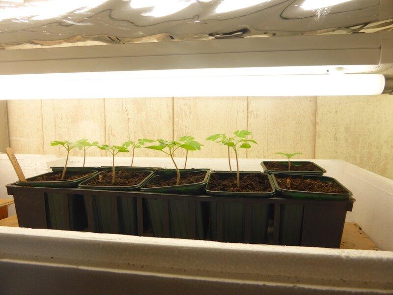 19-pouponnière semis (1)