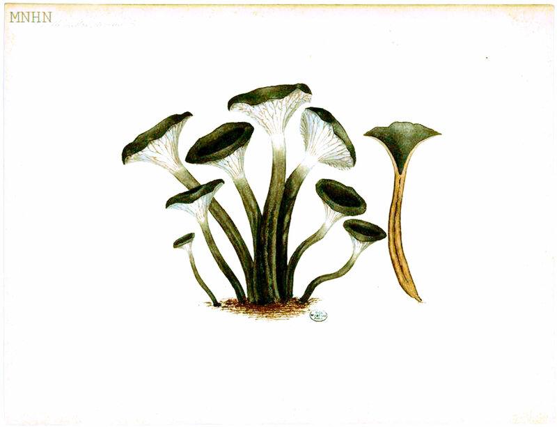 46 Cantharellus cinereus