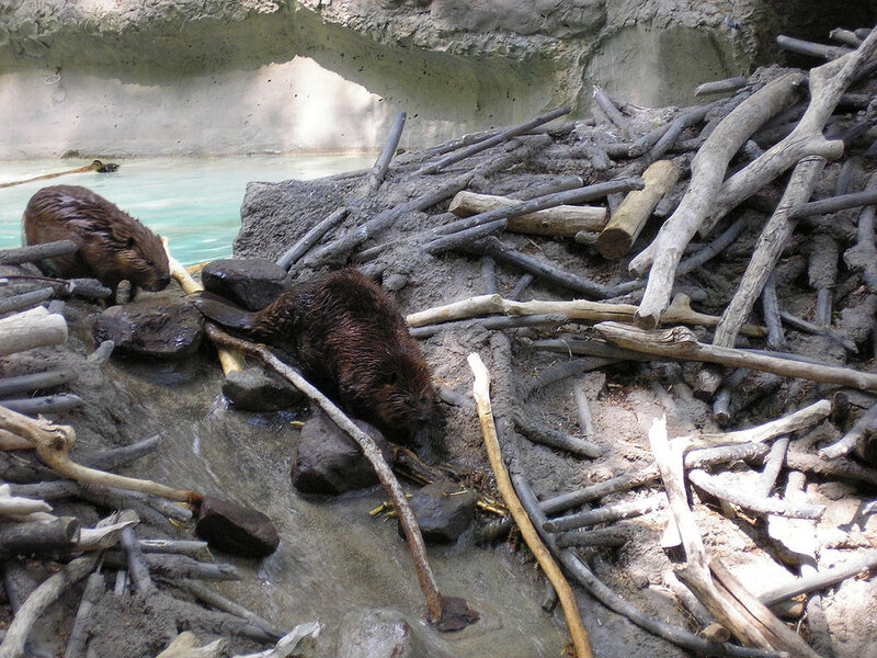 1024px-American_Beavers_at_the_National_Zoo