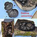 Daldinia concentrica