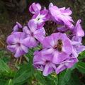 2008 08 19 Des fleurs de phlox