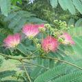Albizia fleur 1