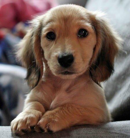 kate-the-miniature-dachshund_57027_2011-03-30_w450
