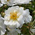 rose jardin blanche1