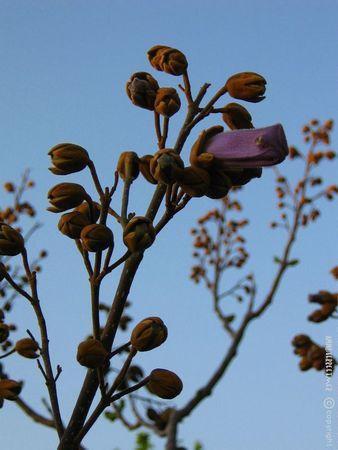 polonia Paulownia tomentosa de son vrai nom photo Anne Giletti (25)