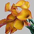 Calla-Lily-Orange fond gris