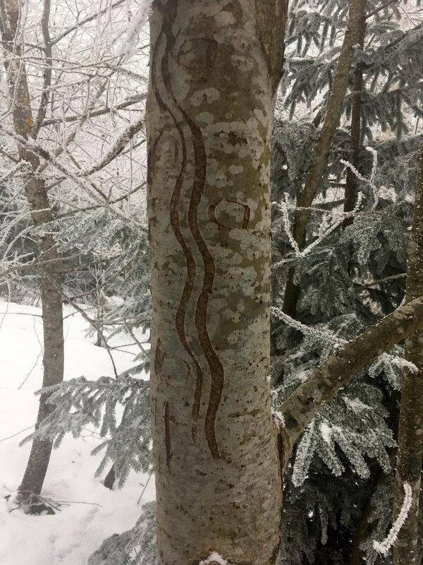 Les vergetures des arbres