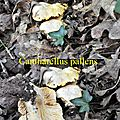 Cantharellus pallens