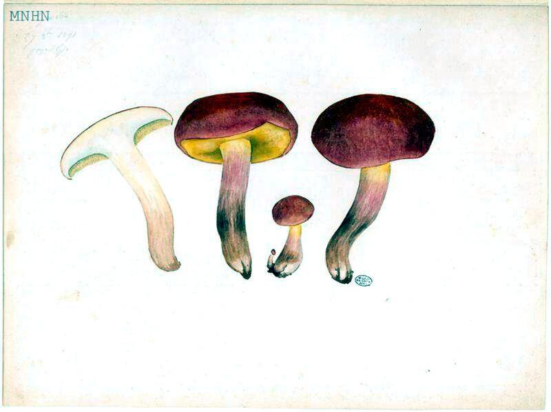 43 Gyrodon b
