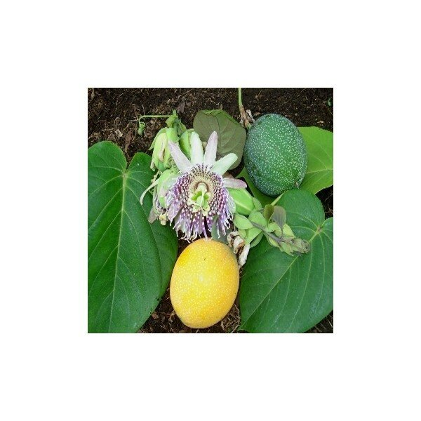 passiflora-ligularis-grenadille-sucrée-graines