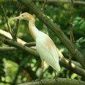 Bubulcus ibis_Kuala Selangor_XRu