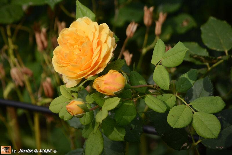 Rosa-Golden-Celebration