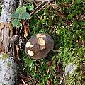 Xerocomellus pruinatus (1)