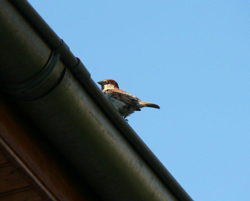 un moineau sur le toit