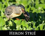 LIEN_heron_stri_