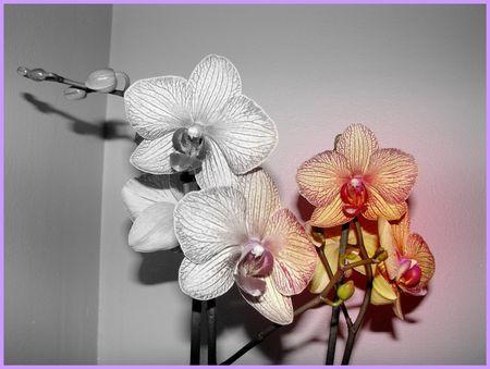 orchidee_f