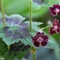 Un géranium vivace de sol frais ou d'ombre…