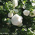 Viorne tomenteuse (viburnum tomentosum)