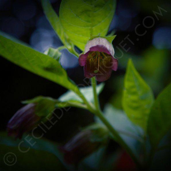 Atropa belladonna © ceciledecorniquet.com