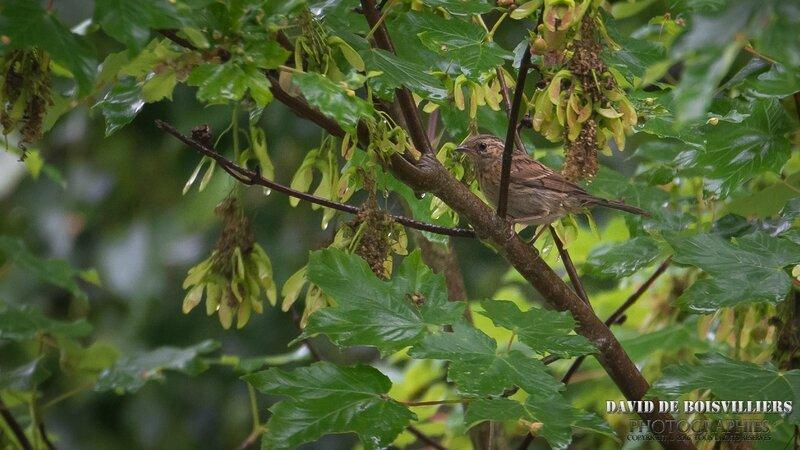 Accenteur mouchet (Prunella modularis)