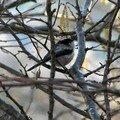 Les mésanges à longue queue…