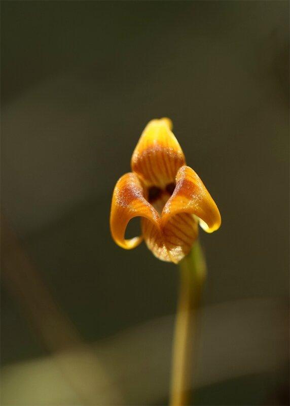 Trigonidium acuminatum