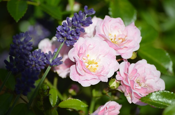 roses et lavandes