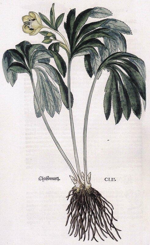 Helleborus viridis - FUCHS 1543 - comp