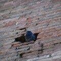 Pigeon dans une des infractuosités de l'église Saint-Aubin