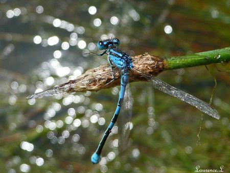libellule_bleu__5_
