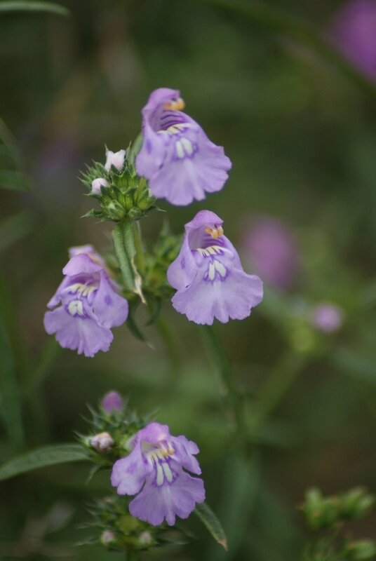 =fleur mauve 06