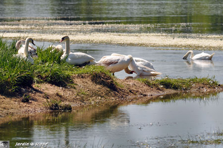 Cygnes_photo_de_famille
