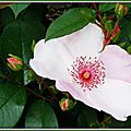 Rose rose plate 080515