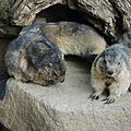11 - Marmottes