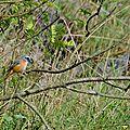 Rougequeue à front blanc - Phoenicurus phoenicurus