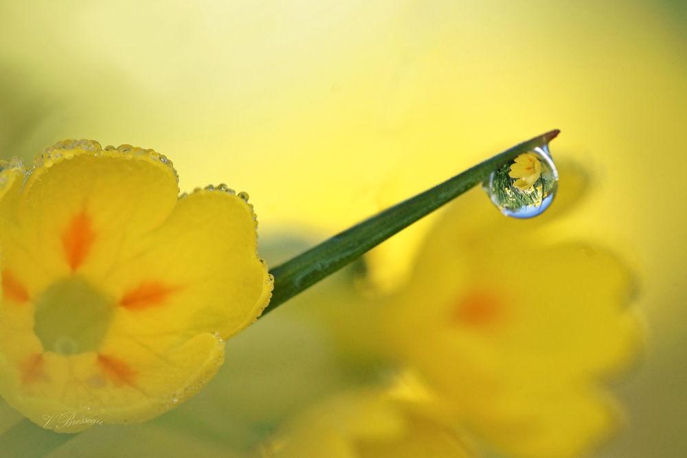 goutte de fleur de coucou