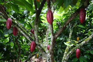 cacao_cacaoyer_thmb