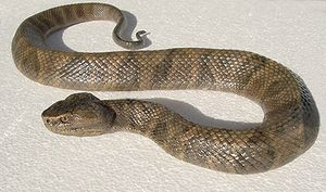 19_2_Moccasin_Cottonmouth_Snake