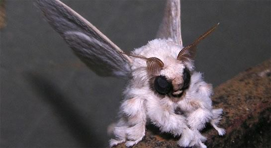 Venezuelan_Poodle_Moth