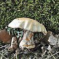 Cortinarius (9)
