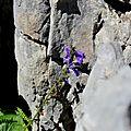 Horminelle des Pyrénées, horminium pyrenaicum...