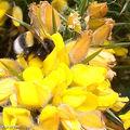 Abeille sur une fleur d'ajonc (Ulex europaeus)