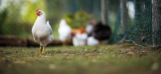 poule_8