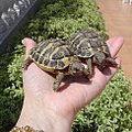 FOFO et BOUDDHA mes tortues de 2 ans