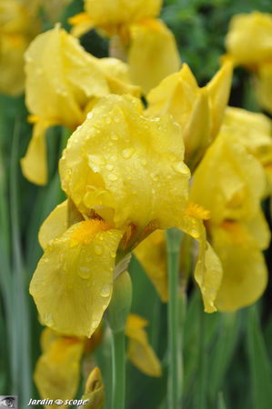 Iris_lemon